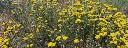 Helicrhrysum-itallicum